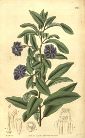 Figured are ovate-lanceolate leaves and solitary, terminal purple salverform flowers.  Curtis' Botanical Magazine t.2829, 1828.