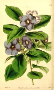 Figured are ovate-lanceolate leaves and terminal cyme of purple salverform flowers.  Curtis' Botanical Magazine t.3907, 1841.