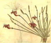 The image depicts a flowering scape showing typically boat-shaped red flowers.  Curtis's Botanical Cabinet t.2578, 1825.