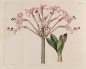 Shown are leaves and umbel of pink flowers with reflexed segments and bright red striations.  Botanical Register f.954, 1825.