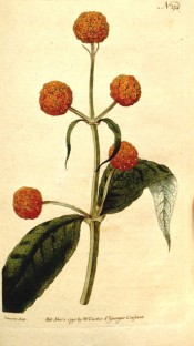 Shown are lance-shaped leaves, and rounded clusters of orange and yellow flowers.  Curtis's Botanical Magazine t.174, 1791.