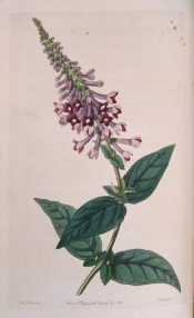 Illustrated are the ovate leaves and panicles of distinctly curved, dark violet flowers.  Botanical Register f.4, 1846.
