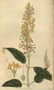 Shown are lance-shaped leaves and bright orange-yellow flowers in pendulous panicles.  Curtis's Botanical Magazine t.2824, 1828.