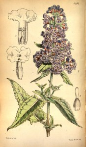 Figured are toothed, lance-shaped leaves and upright panicle of small blue flowers.  Curtis's Botanical Magazine t.4793, 1854.