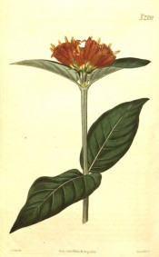 Shown are ovate leaves and terminal clusters of bell-shaped orange to scarlet flowers. Curtis's Botanical Magazine t.2339, 1822.