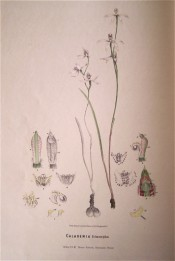 Figured are tuber, single, lance-shaped leaf, and large white flowers with pink and green markings.  Fitzgerald, c.1879.