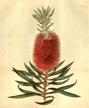 Figured are the willow-like leaves and bright red bottle-brush flowers.  Curtis's Botanical Magazine t.1761, 1815.