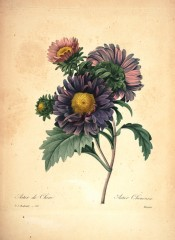 Figured are double China Asters in shades of pink and blue.  Redout? Choix des Plus Belles Fleurs pl.121, 1833.