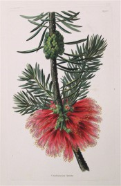 Figured are small, needle-like leaves and bottle-brush-like bright red flowers.  Loddiges Botanical Cabinet no.1447, 1828.