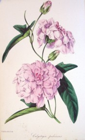 Illustrated is a twining stem and pale pink, very double flowers.  Paxton's Magazine of Botany p.243, 1846.