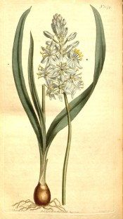 Figured are bulb, lance-shaped leaves and raceme of cup-shaped blue flowers.  Curtis's Botanical Magazine t.1574, 1813.