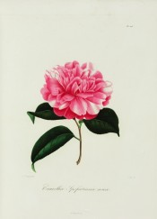 Figured is a very double pink camellia, the petals shading white.  Berlèse Iconographie vol.III pl.203, 1843.