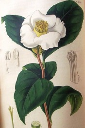 Shown is a single white camellia flower with a large bunch of stamens in the centre.  Curtis's Botanical Magazine t.2745, 1827.