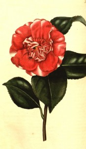 Figured is an anemone-form, bright red camellia with an occasional white blotch.  Curtis's Botanical Magazine t.2571, 1825.