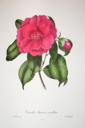 Illustrated is a camellia with semi-double, dark crimson red flowers.  Chandler pl.10, 1831.