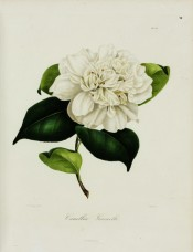 Figured is an anemone-form camellia with a pure white flower.  Berlèse v.II pl.132, 1843.