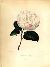 Figured is a double white camellia with regularly imbricated petals streaked red.  Berlèse Iconographie vol 1 pl.40, 1841.