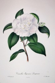 Figured is a pure white double camellia, the inner petals jumbled, with red streaks on the petals.  Chandler pl.9, 1831.