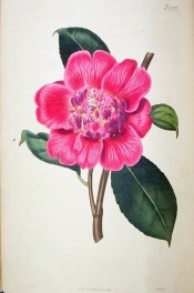 The image shows a deep pink anemone-form flower with some stamens in the centre.  Curtis's Botanical Magazine t.2577, 1825.