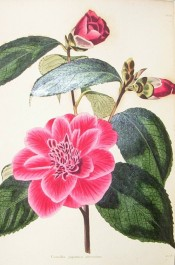 Figured is a crimson camellia, semi-double with small, confused petals in the centre.  Loddiges Botanical Cabinet no.170, 1818.