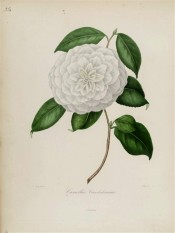 Shown are white, very double flowers, the petals being regularly arranged, resembling a dahlia.  Berlèse v.1 pl.25.