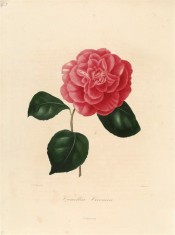 Figured is a camellia with an informal double flower of bright scarlet with rounded petals.  Berlèse v.1 pl.44/1841.