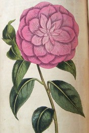 Figured is a very double, deep rose-coloured camellia with Myrtle-shaped leaves.  Curtis's Botanical Magazine t.1670, 1814.