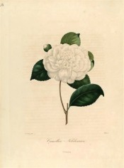 Figured is a pure white, double camellia, the inner petals small and jumbled.  Berlèse Iconographie vol.1 pl.31, 1841.