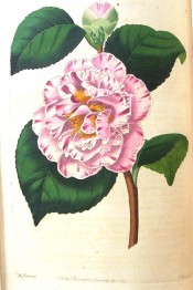 Figured is a camellia of delicate blush colour, striped and spotted with pale rose.  Botanical Register f.1267, 1829.