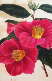 Figured is a camellia with single red flowers and a large central bunch of stamens.  Loddiges Botanical Cabinet no.1112, 1826.