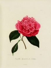 Figured is a very double deep pink camellia, the central petals bunched.  Berlèse Iconographie vol.III pl.210, 1843.