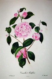 Illustrated is a camellia with small pink, peony form flowers.  Chandler pl.2, 1831.