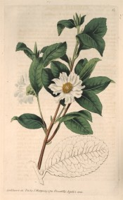 Figured is a camellia with elliptic leaves and single, cup-shaped white flowers.  Botanical Register f.12, 1815.