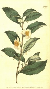 Figured is a small camellia with pointed leaves and small, nodding white flowers.  Curtis's Botanical Magazine t.998, 1807.