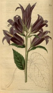 Shown is an upright herb with toothed leaves and large purple bell-shaped flowers.  Curtis's Botanical Magazine t.2553, 1825.