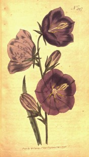 The plant illustrated has large cup-shaped, purple flowers.  Curtis's Botanical Magazine t.397, 1798.