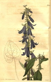 Shown is an upright herb with lance-shaped leaves and bell-shaped blue flowers.  Curtis's Botanical Magazine t.2632, 1826.