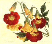 Figured is a twining climber with pinnate leaves and red and yellow trumpet flowers.  Curtis's Botanical Magazine t.1398, 1811.