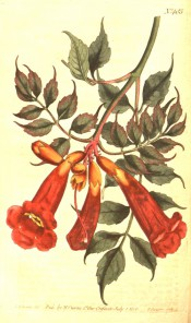 Figured is a climber with pinnate leaves and narrowly-trumpet-shaped red flowers.  Curtis's Botanical Magazine t.485, 1800.