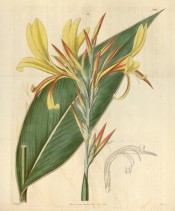 The image shows a lance-shaped leaf and pale yellow flowers tinged with red in bud.  Curtis's Botanical Magazine t.3437, 1835.