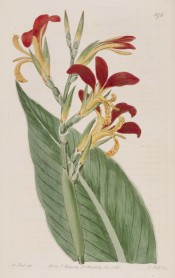 The image depicts a flowering stem with leaves, the flowers red and pale yellow.  Botanical Register f.576, 1821..