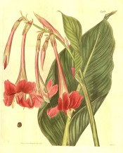 The image shows a lance-shaped leaf and red, pendant, tubular flowers.  Curtis's Botanical Magazine t.1968, 1815.