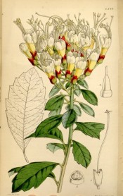 Shown are toothed oblong leaves and dense, erect racemes of straw-coloured flowers.  Curtis's Botanical Magazine t.4386, 1848.