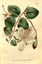 Illustrated are roundish, leathery leaves, white flowers, unopened buds and seed pods.  Curtis's Botanical Magazine t.291, 1795.