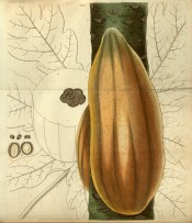Illustrated is a ripe, orange Papaya fruit growing on the tree stem.  Curtis's Botanical Magazine t.2899, 1829.
