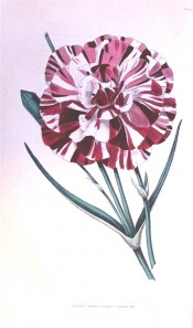 The image shows a double carnation with white ground colour, strongly streaked with crimson.  British Florist pl.19, 1841.