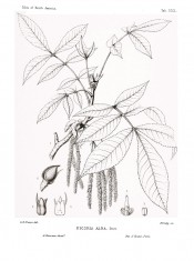 Figured are pinnate leaves, catkins and detail of flowers.  Silva of North America vol.7, tab.CCCL, 1895.