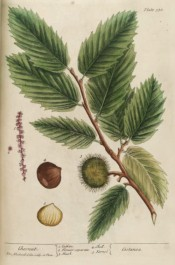 Illustrated are the oblong, toothed leaves, seed pods and edible seeds.   Blackwell pl.330, 1839.