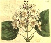 Figured are ovate leaves and upright panicle of white trumpet-shaped flowers.  Curtis's Botanical Magazine t.1094, 1808.