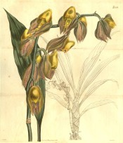 Figured are plicate leaves and greenish-yellow flowers spotted with purple.  t.2559, 1825.